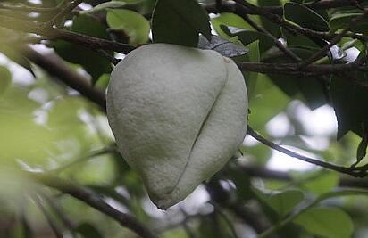 茶树果实 茶桃能生吃吗 怎样才算成熟 价格多少钱一斤 它有什么功效作用