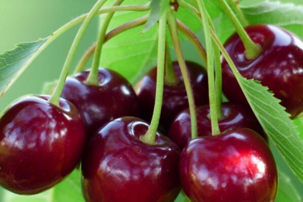 乔木樱桃树种子价格多少钱一斤 什么时候播种 开花结果 怎么发芽 怎么种图片