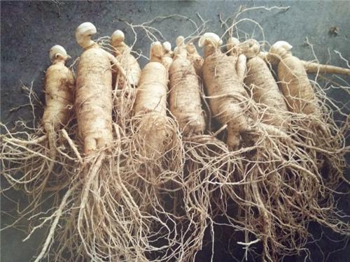 百草之王 西洋参种子多少钱一斤 和人参有什么区别 种一亩大约赚多少钱