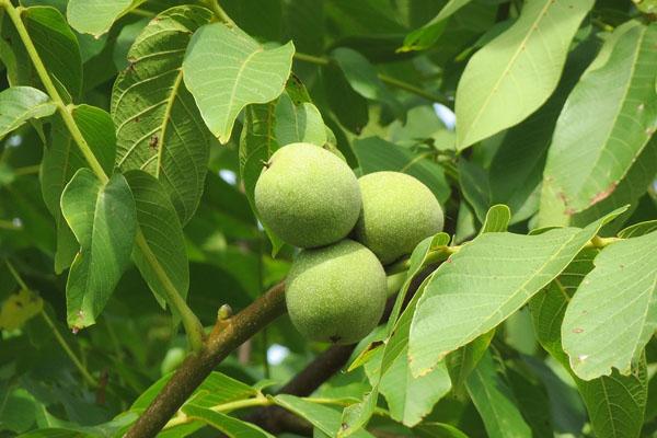 坚果之王 核桃树什么时候嫁接好 可以嫁接哪些树 怎么嫁接
