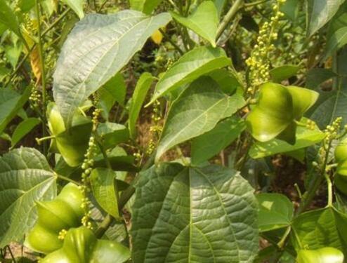 美藤果价格一斤多少钱 如何种植 怎么吃 有哪些功效及作用