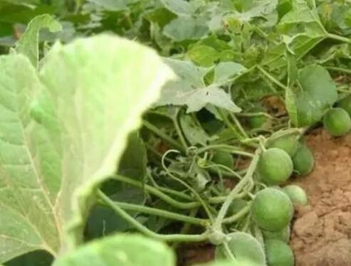 马泡瓜是什么 可以大量种植吗 亩产多少斤 熟了的如何保存