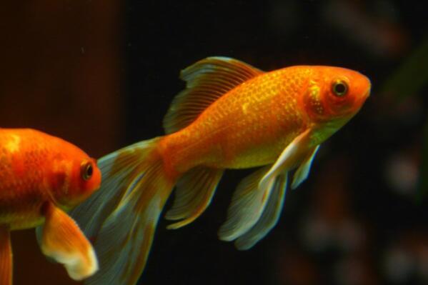 观赏鱼金鱼一般几天换一次水 价格多少钱一条 怎么分公母 怎么养才能图片
