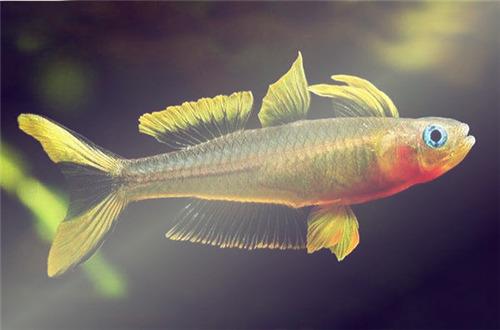 胸斧鱼科燕子鱼吃什么长大的 可以长多大 怎么分公母 怎么养图片