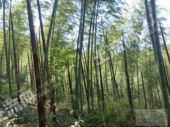 贵溪市文坊镇1000亩林地转让