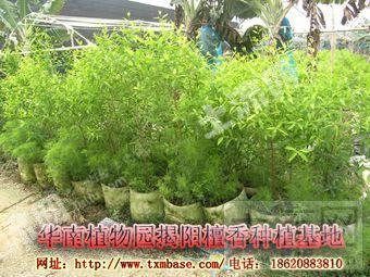 印度檀香,老山香种植场租赁