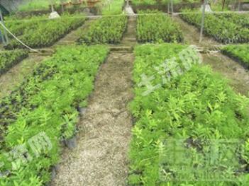 印度檀香,老山香,白檀种植场租赁