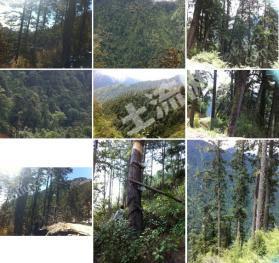怒江州贡山县6万亩林权转让