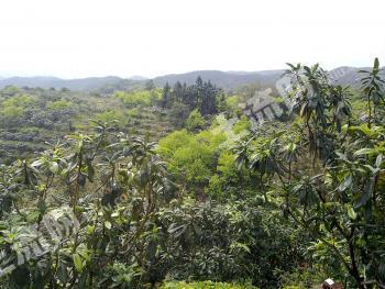 福建福清-少林村果园出租,有枇杷树7千棵