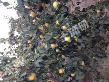 转让郑州荥阳70亩农用地生态园各种品质果树