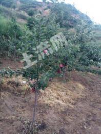 苹果园核桃园500亩