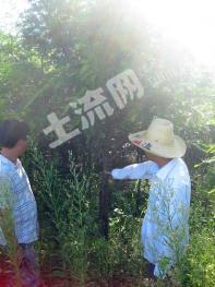 绝对稀缺资源,江西早期红豆杉基地 可售红豆杉果 红豆杉叶 红豆杉苗也可基地整体转让2015002