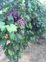 宁夏银川金沙林场12亩果园出售