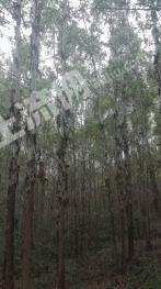转让1100亩桉树林地