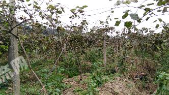 四川眉山转包38亩果园