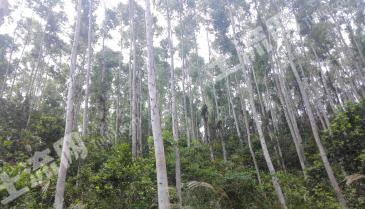 转让茂名电白区黄岭镇600亩快速林 MM215