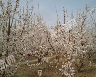 新疆吐鲁番托克逊县100亩农地果园转让出售