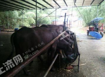 (转让)肇庆市45亩私人生态养牛场
