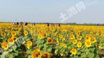 上万亩 向日葵种植基地出租或合作