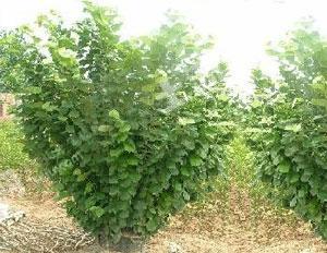 七台河北兴农场30亩榛子园+50亩农业地转让
