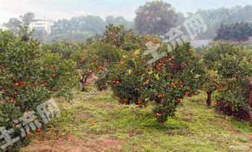 北京朝阳区金盏乡300亩果园转让转包或合作