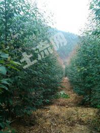 柳城县东泉镇走马村80亩林地出租养殖