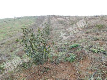 清远连州市油茶林400亩寻求合作或转让