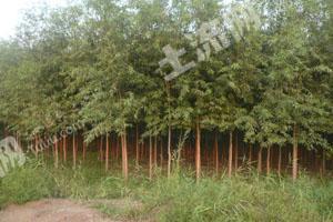 200亩林业土地转让  现种植的竹柳
