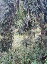 武义县城区附近承包转让香榧基地200亩