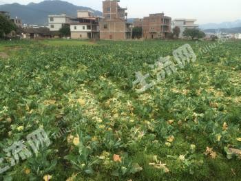 福建莆田仙游县园庄镇300亩左右菜地转包