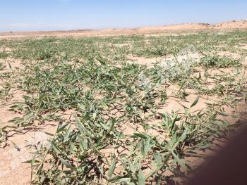 新疆喀什10000亩肥沃良田低价转让