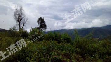 西双版纳勐海布朗山乡有800亩的林场合作