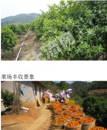 肇庆市德庆县32亩柑桔园低价转让