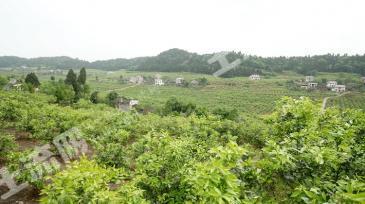 安岳县城北400亩成熟柠檬种植园转让