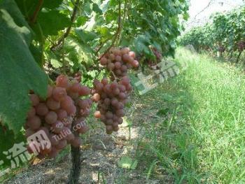 昆明石林县葡萄种植园转让或出租