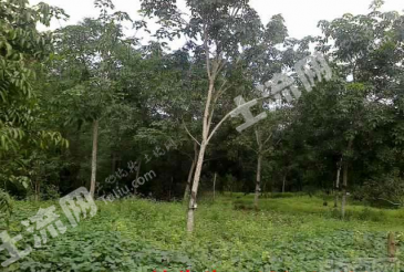 屯昌县55亩果园转包