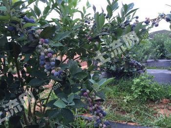 800亩蓝莓基地,丰产期