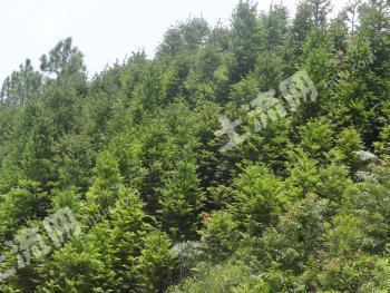 云南丘北1000余亩自种林业地转让(有林权证)