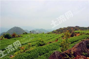 安溪佛耳山1800亩茶園(铁观音)