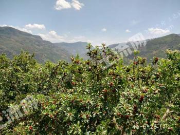 云南富民县60亩优质果园转让