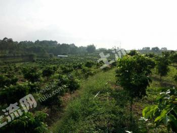 清远清城区 200亩 果园 转让
