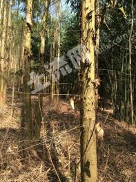 850亩桉树砍伐转让-清远山林全包近木厂