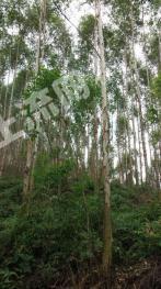 肇庆高要千亩桉树转 二代广九六年成才
