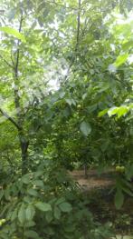 合作1800亩灌木林地
