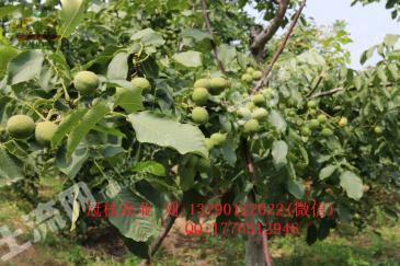 安阳汤阴县 100亩 果园 转让
