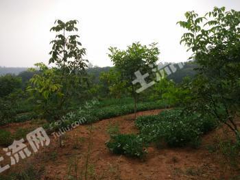 洛阳宜阳县200亩果园转包