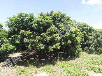 海南陵水黎族自治县 35亩 果园 转让