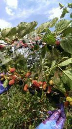 烟台蓬莱市 8亩 果园水浇地 出租
