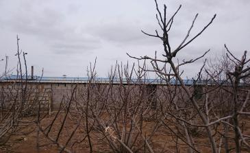 烟台龙口 25亩 果园 转让