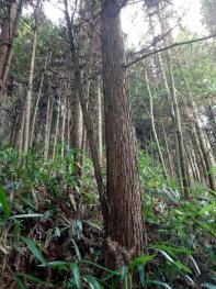 三明明溪县 428亩 有林地 转让